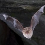 YACWAG detects 8 bat species on proposed development site