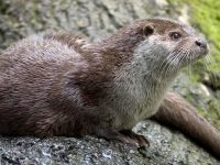 Otters on my doorstep – YACWAG free nature talk – Thu 25 Jan