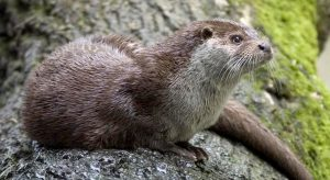 Otters on my doorstep – YACWAG free nature talk